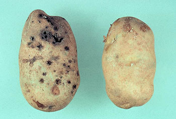 Photo of two potatoes, one of which has been damaged by late summer wireworm feeding