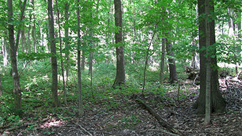 Photo of Carolinian forest