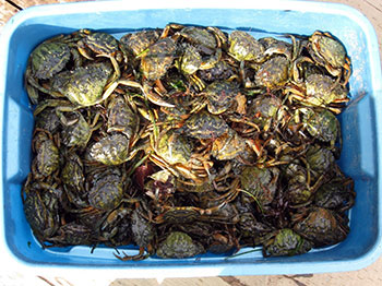 Photo of a large bin full of invasive green crab found off the coast of Prince Edward Island