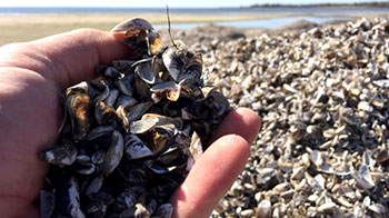 Photo of a hand full of zebra mussel shells, which are also piled up on a surrounding beach in Manitoba