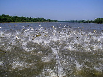 Many Asian carp jumping out of a body of water